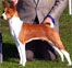 Click to see more basenjis, the barkless dogs.  Picture of a basenji in competition.